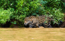 Jaguar Walking In River While Hunting