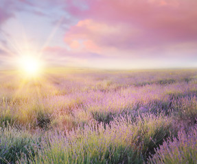 Fototapeta Lawenda Sunset sky over a violet lavender field in Provence, France. Lavender bushes closeup on evening light.