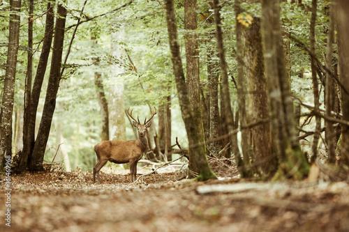 Photo  cerf brame forêt mammifère roi bois bois sauvage animal