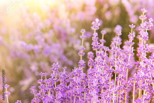 Fototapeta Lavender bushes closeup on evening light. Blooming bush of lavender closeup. Provence region of france. obraz na płótnie