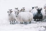 Icelandic sheep roaming in the winter snowy field,beyond their season. Black sheep contrasting among white sheep - 161500747