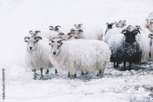 Fotografering  Icelandic sheep roaming in the winter snowy field,beyond their season