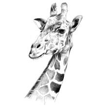The Head Of A Giraffe Sketch V...