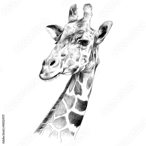 Fotografie, Obraz  the head of a giraffe sketch vector graphics black and white drawing
