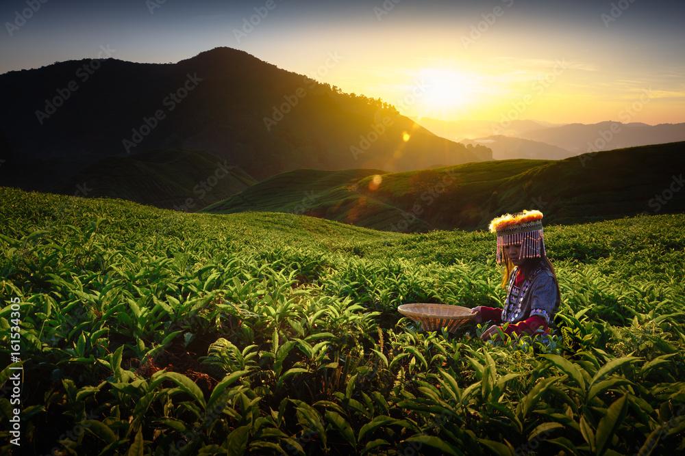 Fototapety, obrazy: Sunrise over Sungai Palas tea plantation in Cameron Highlands with child girl tribal , Pahang, Malaysia