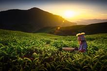Sunrise Over Sungai Palas Tea Plantation In Cameron Highlands With Child Girl Tribal , Pahang, Malaysia