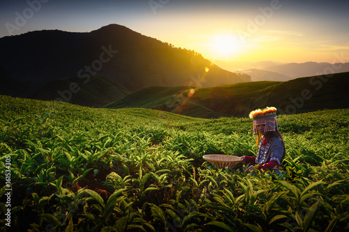 Cuadros en Lienzo Sunrise over Sungai Palas tea plantation in Cameron Highlands with child girl tr
