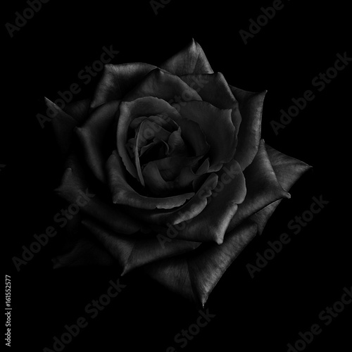 Black rose isolated on black  background