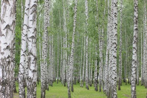 birch grove in the Park