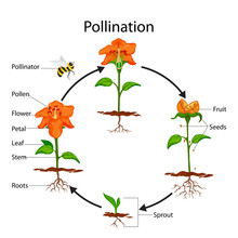 Education Chart Of Biology For Pollination Process Diagram