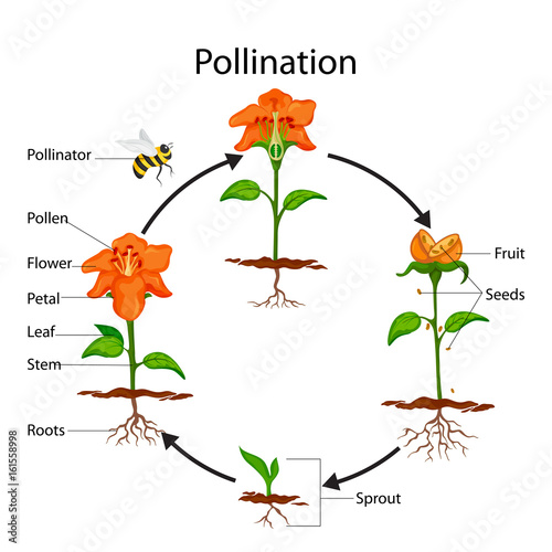 Education Chart of Biology for Pollination Process Diagram Wallpaper Mural
