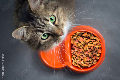 Photographie cat near a bowl with food looking up