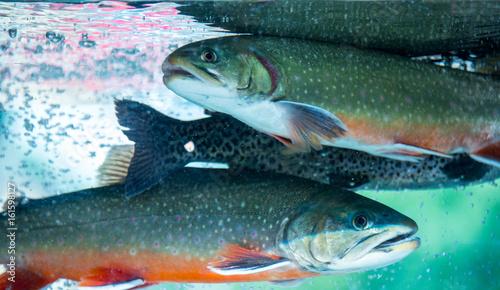 Fotografie, Obraz Underwater Rainbow Trout