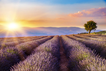 Panel Szklany Lawenda Sunset over a violet lavender field in Provence, France.