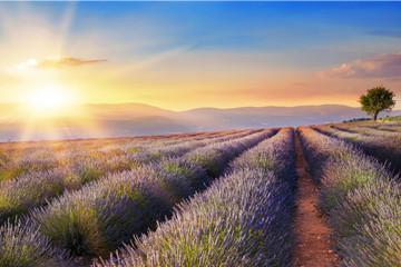 Obraz na Szkle Lawenda Beautiful image of lavender field over summer sunset landscape.