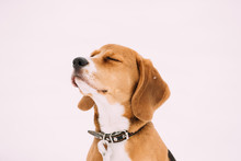 Portrait Of Beautiful Tricolor Puppy Of English Beagle Playing