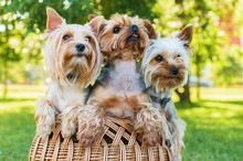 Yorkshire Terriers Sitting In ...