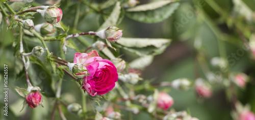 Valokuva  powdery mildew on roses shoot, macro