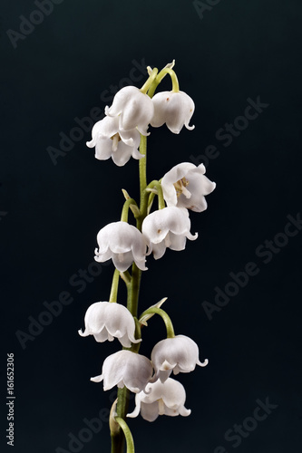 Poster Muguet de mai Twig and beautiful white flowers of lily of the valley.