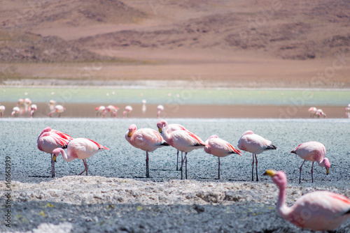 Foto op Aluminium Flamingo Hedionda lagoon is located in the south west of Bolivia, not far from the Chilean border, around the climate is very dry and arid and in these stretch of water it's normal to find a lot of flamingos