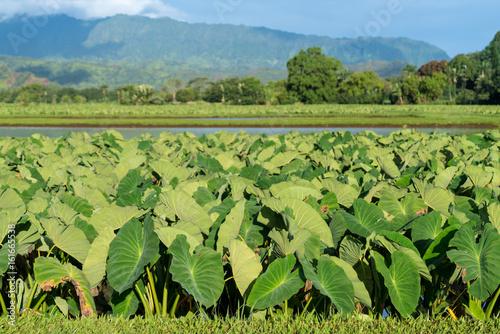 Taro plants in Hanalei Valley in Kauai