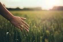 Female Hand Brushes Barley In ...