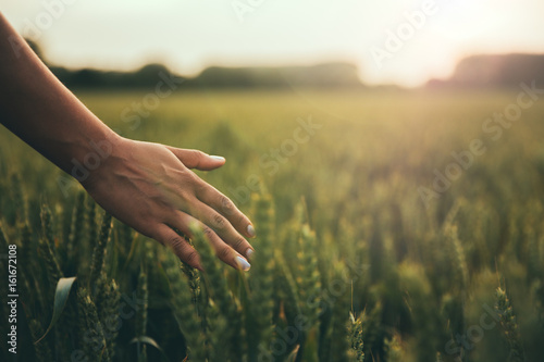 Staande foto Cultuur Female hand brushes barley in warm light