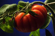 Solanum Lycopersicum Pomodoro Cuore Di Bue Beefsteak Tomato Τομάτα Video Cœur De Bœuf Tomate 牛排番茄 Beef Бычье сердце Rajčica Ochsenherztomate томат Tamatie Волове серце 토마토 сорт Paradicsom Növényfaj