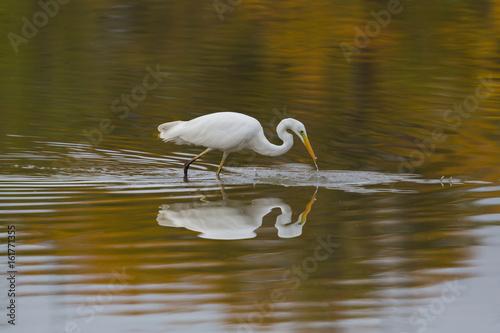 Fotografia, Obraz  great white egret (egretta alba) during hunt, reflected from water surface
