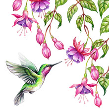 Watercolor Illustration, Exotic Nature, Flying Humming Bird, Tropical Fuchsia Flowers, Green Leaves, Isolated On White Background