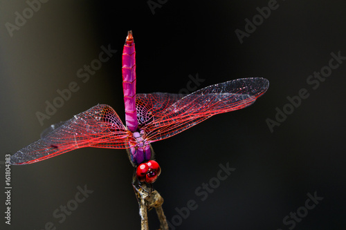 Image of a dragonfly (Trithemis aurora) on nature background. Insect Animal
