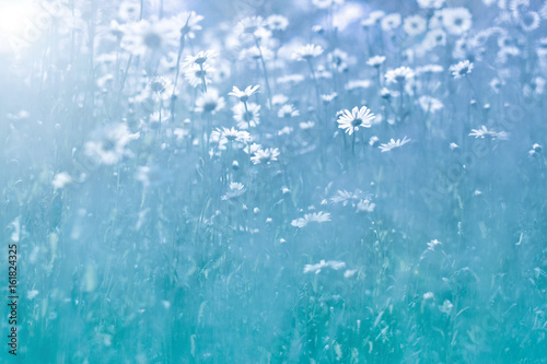 Poster Natuur Gentle Daisy flowers on blue background. Beautiful summer photo with wildflowers. Selective soft focus