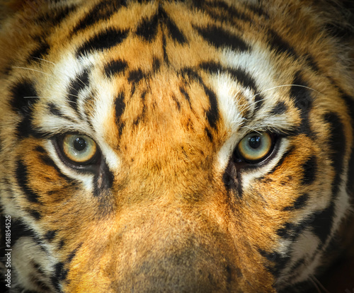 Foto auf AluDibond Tiger close up tiger face portrait with eyes angry looking