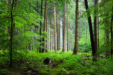 Majestic Green Beech Forest In Mist With Fern On The Ground, Herford, Germany