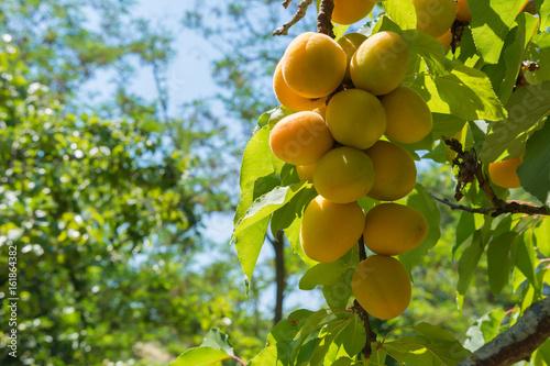 Aprikosen Am Baum Aprikosenbaum Mit Frischen Und Saftigen Früchten
