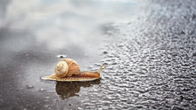 Snail Crosses Wet Street After...
