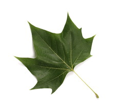 Plane Tree, Sycamore Leaves An...