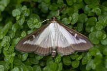 Box Tree Moth (Cydalima Perspe...
