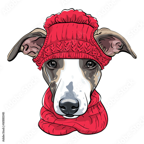 Fotografie, Obraz  Dog breed Italian Greyhound in warm winter red knitted hat and scarf isolated on