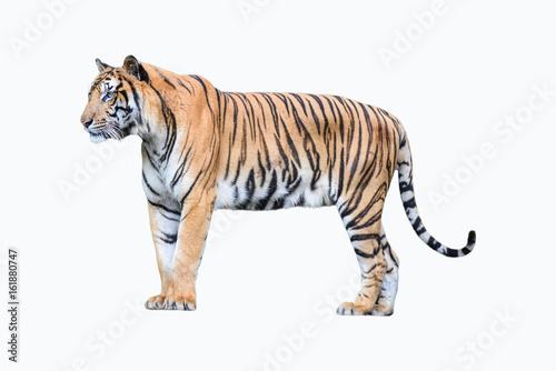 In de dag Tijger bengal tiger isolated