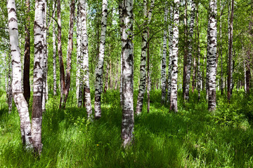 Panel Szklany Podświetlane Brzoza Birch forest on sunny day