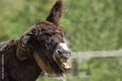 Dumb animal. Stupid looking jackass neighing. Hairy laughing donkey funny animal meme image.