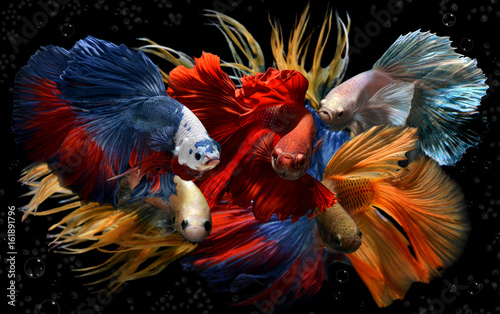 Photo Mixed colorful fancy betta .