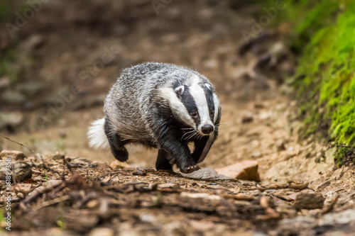 Badger in forest creek Canvas Print