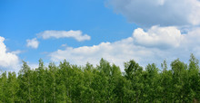 Top Of Birch Trees And Sky Wit...