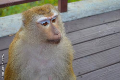 Fototapeta  sad monkey looking for something