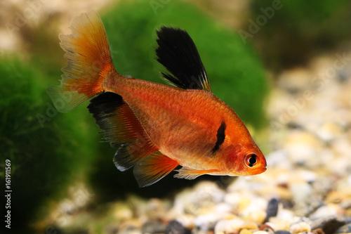 Long Finned Serpae Tetra Barb Hyphessobrycon eques aquarium fish Plakát