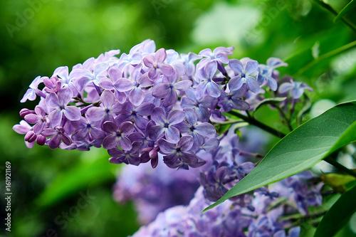 kwiat-bzu-w-kolorze-fioletu-zmieszanym-z-niebieskim
