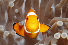 Clownfish, Amphiprion Percula,...