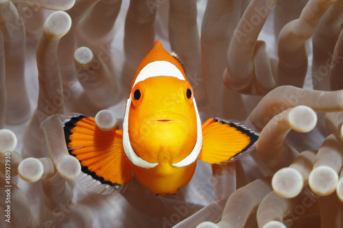 Clownfish, Amphiprion percula, in Sea Anemone Fototapet